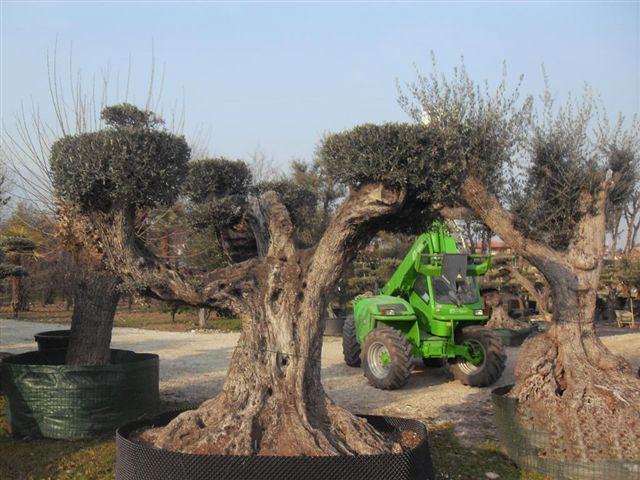Contarin sergio vivai e piante rose da collezione for Vivaio alberi