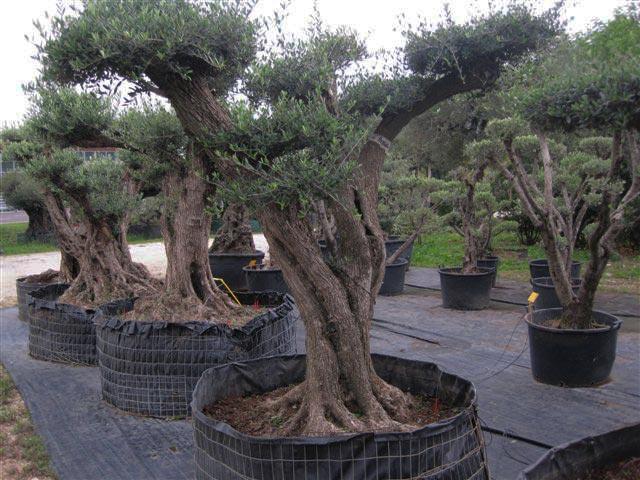 Contarin sergio vivai e piante rose da collezione for Alberi ornamentali da giardino sempreverdi