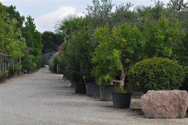 Contarin sergio vivai e piante rose da collezione produzione alberi di natale - Arbusti sempreverdi da giardino ...